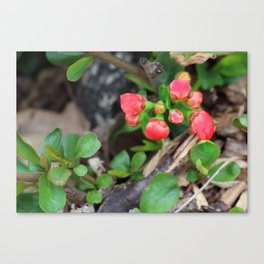 Japonica buds Canvas Print