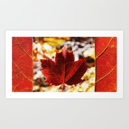 Canadian Maple Art Print