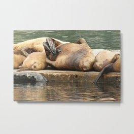 Sleeping Sea Lions Photography Print Metal Print