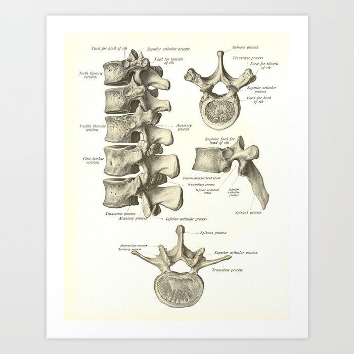 Vintage Human Vertebrae Anatomy Print Art Print By Aburnski Society6