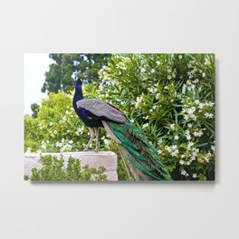 Peacocktastic  Metal Print