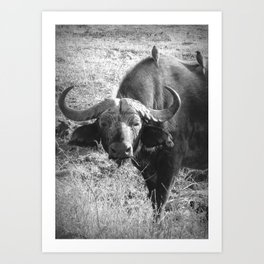 Ol' Cape Buffalo Art Print