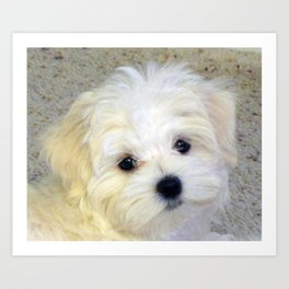 The Maltese Face You Cannot Resist Art Print