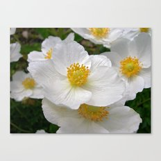 white anemone Canvas Print