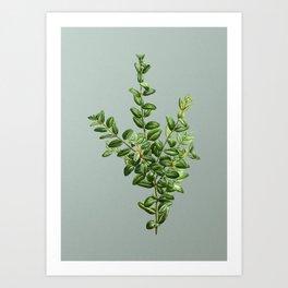 Vintage Boxwood Bush Botanical Illustration on Mint Green Art Print
