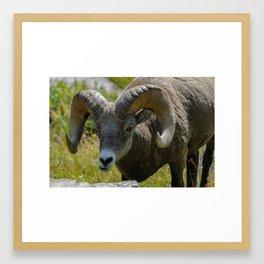 Bighorn Sheep Close-up Framed Art Print