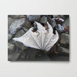 Frost shriveled maple leaf Metal Print