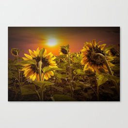 Sunflowers facing the Sunset Canvas Print
