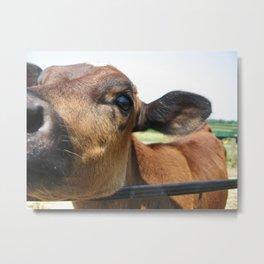 Curious Cow Metal Print