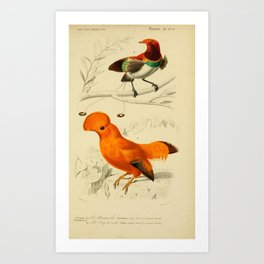 D'Orbigny - Universal Dictionary of Natural History; Birds (1849): 3Bbis Guinean Cock-of-the-Rock Art Print