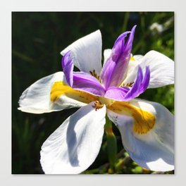 White and Purple Iris Canvas Print