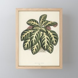 Eranthemum igneum engraved by Benjamin Fawcett (1808-1893) for Shirley Hibberd's (1825-1890) New and Framed Mini Art Print