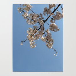 Cherry Blossoms from Below Poster