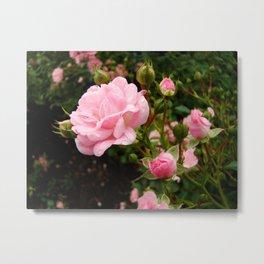 Pink Dew Metal Print