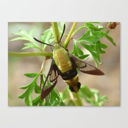 snowberry clearwing moth 2017 II Canvas Print