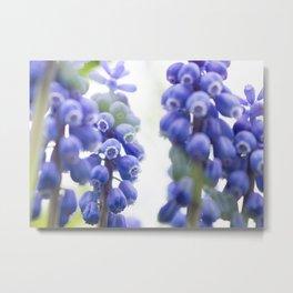 Peek-a-Blue Grape Hyacinth Metal Print