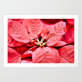 Red Poinsettia Christmas Flower Closeup Art Print