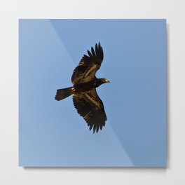 Young Bald Eagle in Flight Metal Print