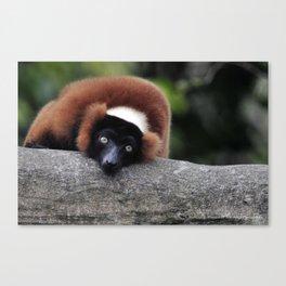 Red Ruffed Lemur Canvas Print