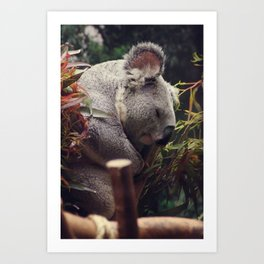 sleeping koala Art Print