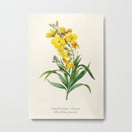 Yellow Cheiranthus Flower Vintage Illustration Metal Print