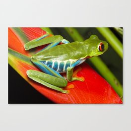 Red Eye Tree Frog on a Heliconia, Costa Rica Canvas Print