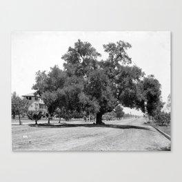 A huge live oak tree in the middle of Orange Grove Avenue (Marengo Avenue?), Pasadena, ca.1890-1907 Canvas Print