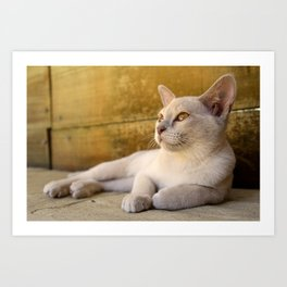 Burmese kitten golden eyes Art Print