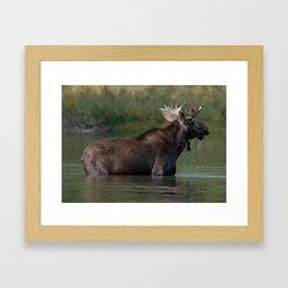 Moose On The Lake Framed Art Print