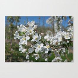 white apple blossoms Canvas Print
