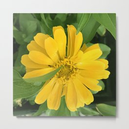 Lucious Yellow Zinnia Flower With Lush Leaves Metal Print
