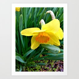 Natures Tears Of Joy On The Daffodil Art Print