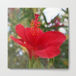 Soft Red Hibiscus With Natural Garden Background Metal Print