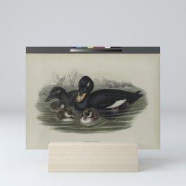 325 Oidemia fusca. Velvet Scoter Mini Art Print