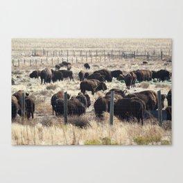 Antelope Island Bison Canvas Print