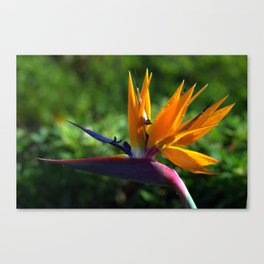 Bird of Paradise, Oahu Canvas Print
