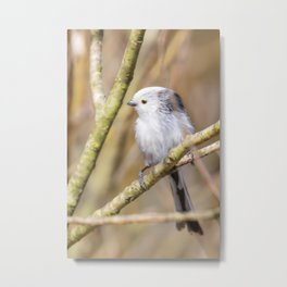 Long-tailed tit on branch (Aegithalos caudatus) Cute little Bird Metal Print