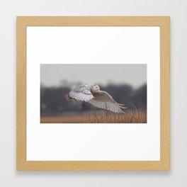snowy owl in flight Framed Art Print