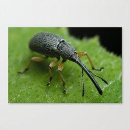 Hollyhock Weevil Canvas Print