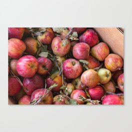Pile of freshly picked organic farm apples with imperfections Canvas Print