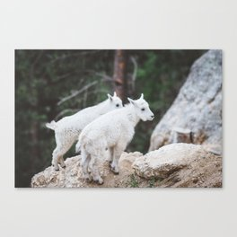 Baby Mountain Goats - Black Hills National Forest Canvas Print