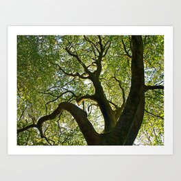 Beech Tree Canopy 2 Art Print
