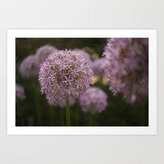 Purple Allium Ornamental Onion Flowers Blooming in a Spring Garden 1 Art Print