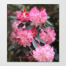 Dreamy Pink Rhododendrons Canvas Print