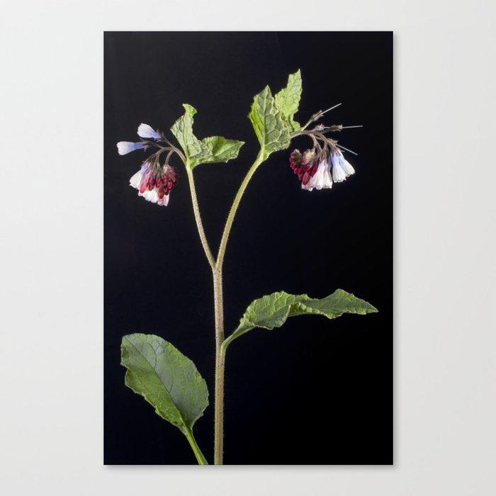 Comfrey Canvas Print