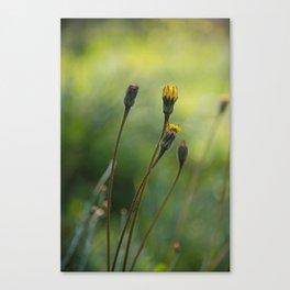 Cyprus dandelion I Canvas Print