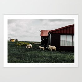 Iceland Sheep Art Print