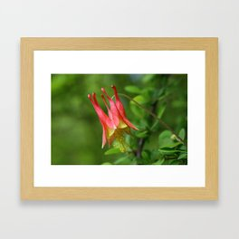 Wild Red Columbine  Framed Art Print