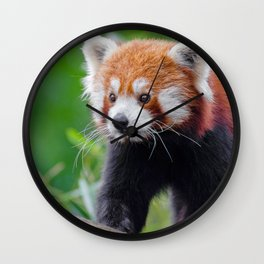Super Adorable Little Red Panda Wandering About Close Up Ultra HD Wall Clock