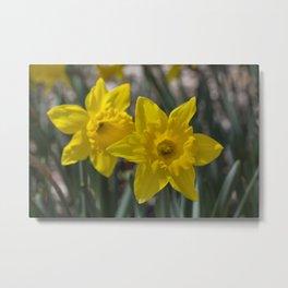Daffodils 1 Metal Print